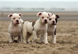 American Bulldog puppies on the beach