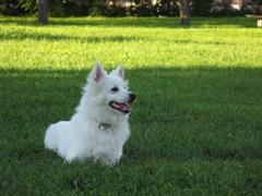 American Eskimo laying on the grass
