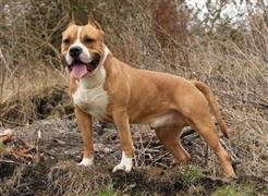 American Staffordshire Terrier standing on some rock