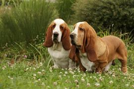Two basset hounds in a field