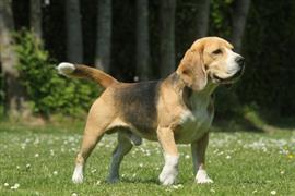 Beagle Leashed on the Grass