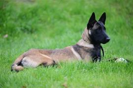 Belgian Malinois laying on the grass
