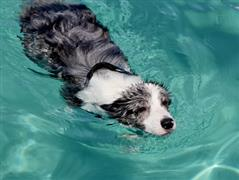Blue Dog swimming in the pool