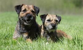 Two Border Terriers in the grass