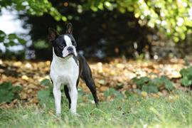 Black and White Boston Terrier