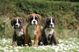 Boxers on the Grass