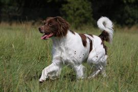 Brittany dog in a field