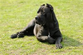 Cane Corso relaxing on the grass