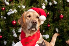 Dog in santa hat is ready for Christmas