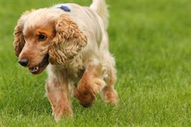 Cocker Spaniel trots through grass