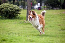 Collie running in the park