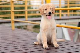 Young lab sitting on a common dock