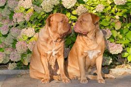 Two Dogue De Bordeaux bumping noses