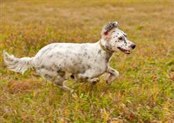 English Setter running through a field