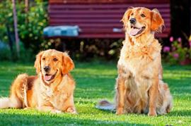 Two famous Golden Retrievers on the lawn