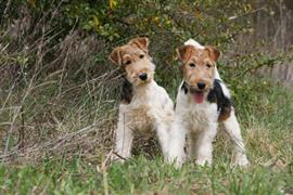 Two Fox Terriers sitting in the grass