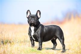 French Bulldog in an open field