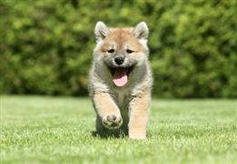 One fun puppy trots on the grass