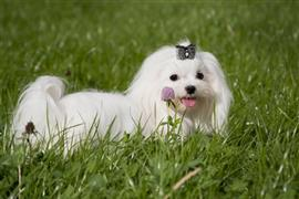 Very girly white dog by a purple flower