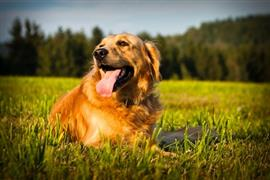 Golden Retriever laying in a field