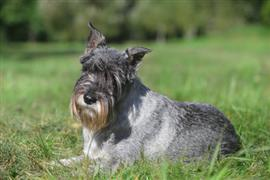 Grey haired dog lays on the grass