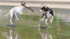 Two greyhounds playing in water