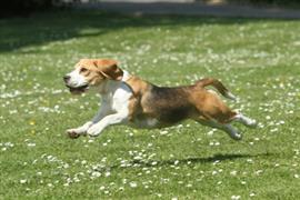 Happy Beagle springs forward