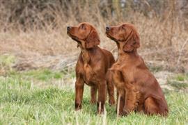 Two Irish Setters sitting in a field