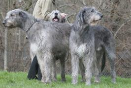 Irish Wolfhounds standing