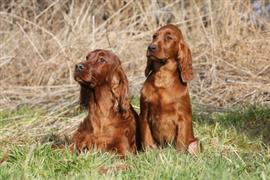 Two Irish Setters on a grassy hill.