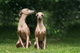 Two Italian Greyhounds sitting on the grass