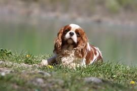 King Charles Spaniel laying on a hill