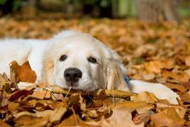 Lazy dog laying in the leaves last Fall