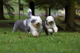 Old English Sheepdogs running
