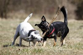 Dogs playing with a stick
