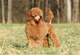 Brown Poodle stand by the woods