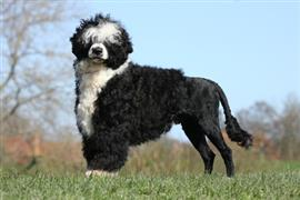 Black and white Portuguese Water Dog standing proud