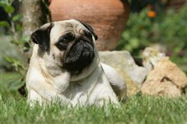 Pug relaxing by some rocks