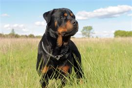 Young Rottweiler in a field