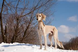 Saluki standing in the snow