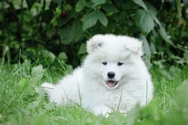 Samoyed laying on the grass