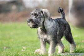 Schnauzer stands on grass