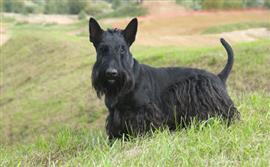 Black Scottish Terrier in a field