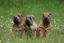 Shar Pei in a field