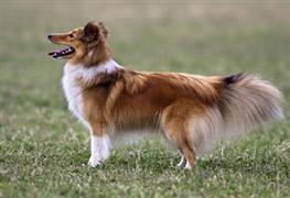 Sheltie standing outside