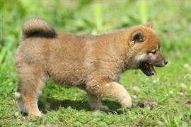 Shiba Inu puppy playing outside