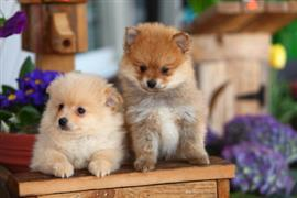 Two special puppies on the table