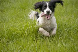 Dog dashing towards camera