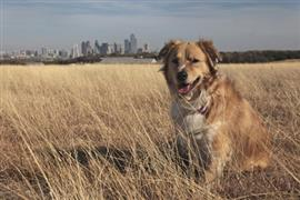 Texas Dog with Dallas in Background