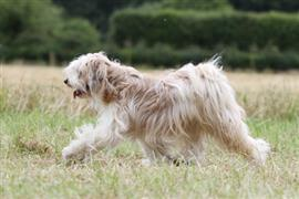 Tibetan Terrier trotting across a field